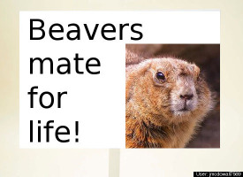 Cute beaver pic says Beavers mate for life